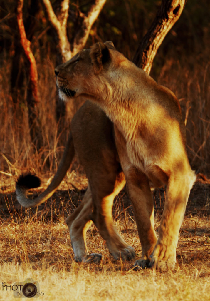 Asiatic Lioness Gir National Park
