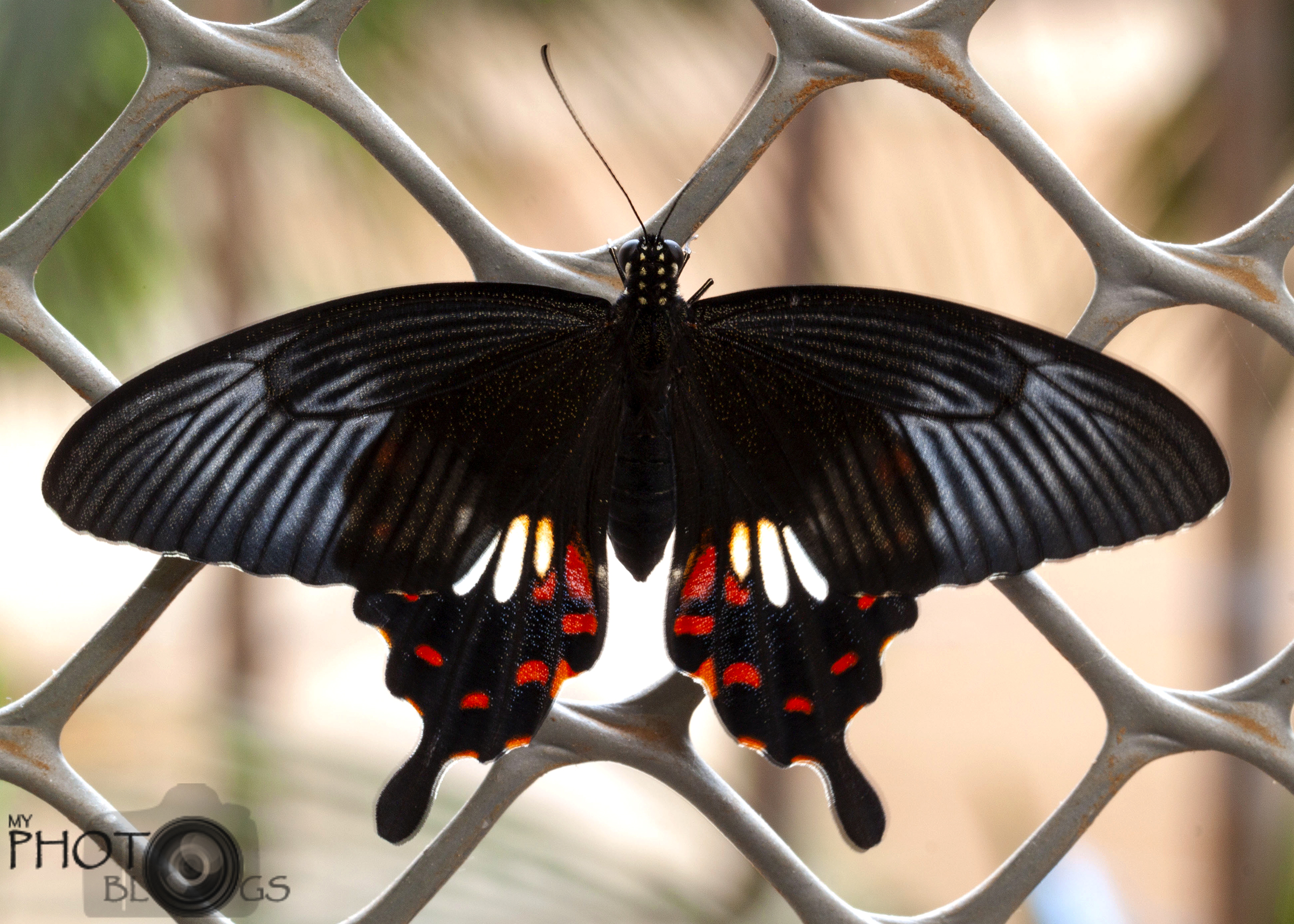 Indian Common Mormon