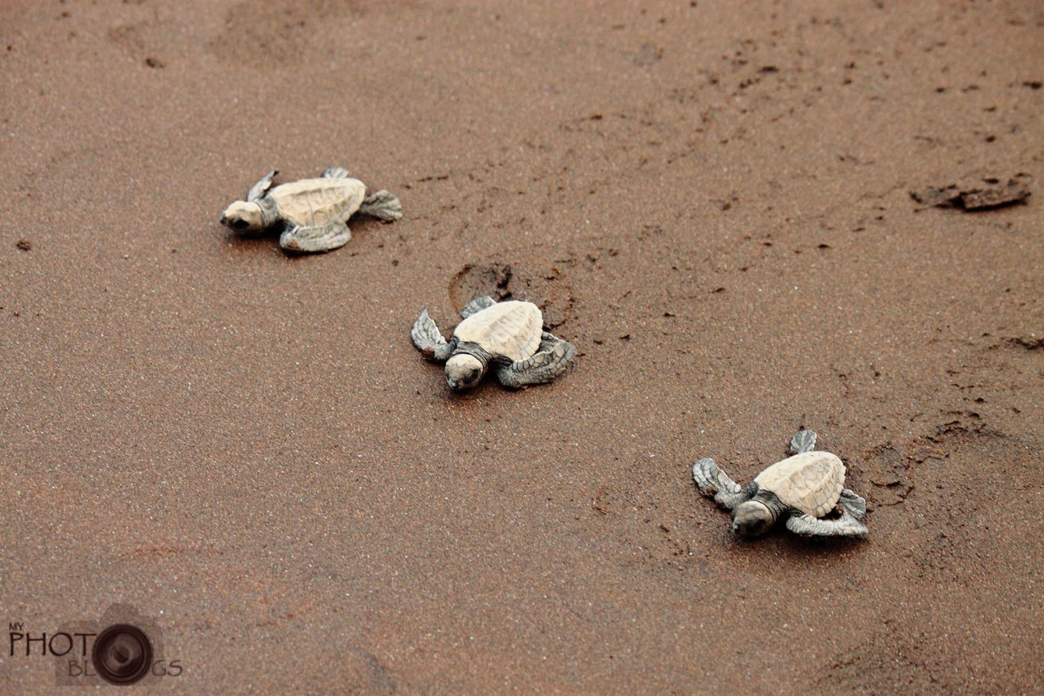 Olive Ridley Turtles