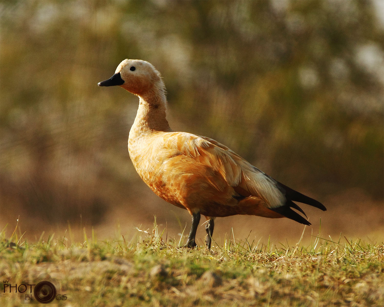 Rudy Shell Duck