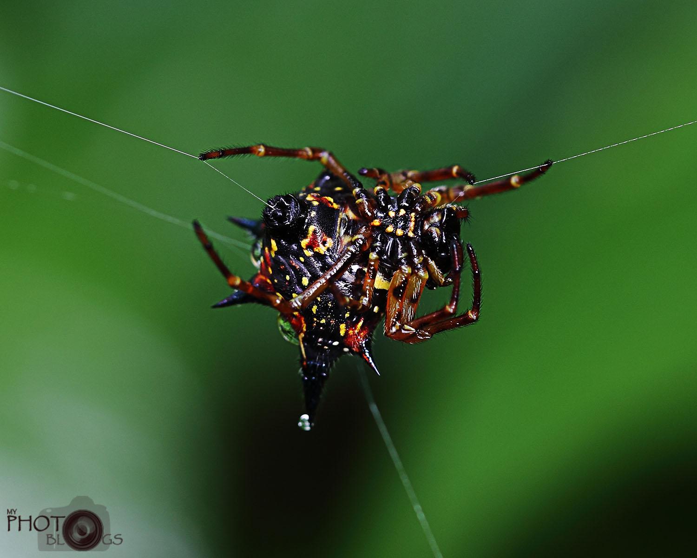 Spine Orb Spider